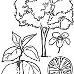 Kolorowanka drzewko owocowe