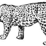 Kolorowanka jaguar